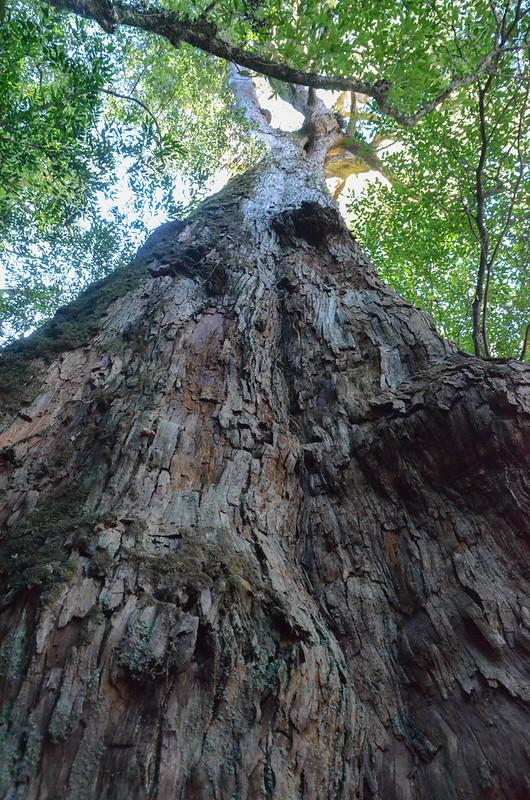 紅檜巨木 (9)