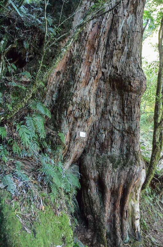 紅檜巨木 (5)