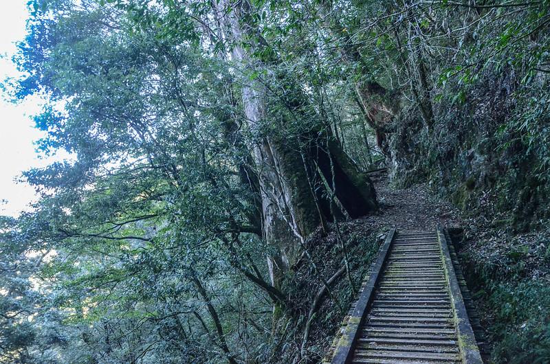 紅檜巨木 (1)