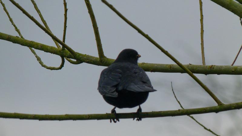 Male blackbird looking round