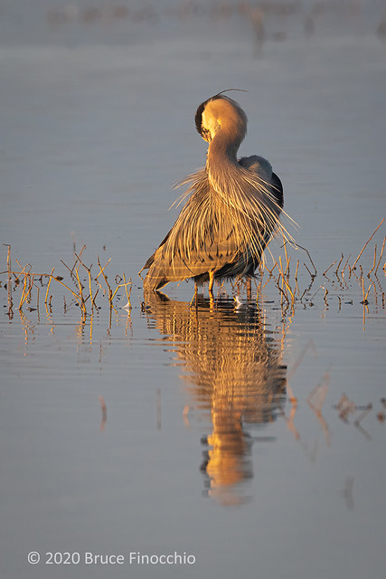 Great Blue Heron Preening Feathers As The Low Sunlight Strikes Its Feathers