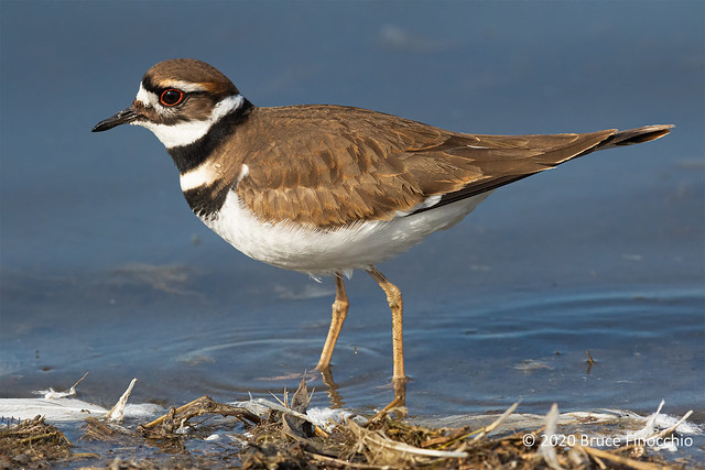 Portrait Of A Killdeer Along The Shore Gluttered With Snow Goose Feathers