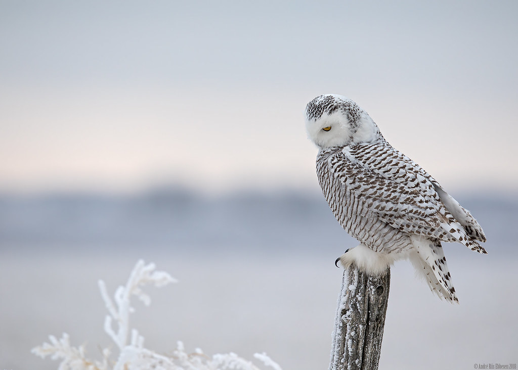 Snowy owl, Saskatchewan
