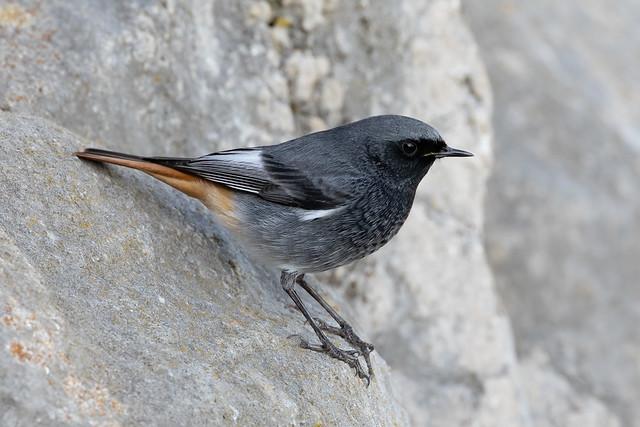 Black redstart male at Seaton Hole