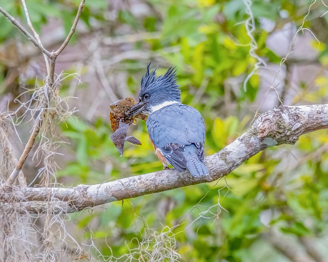 Belted Kingfisher w/ meal