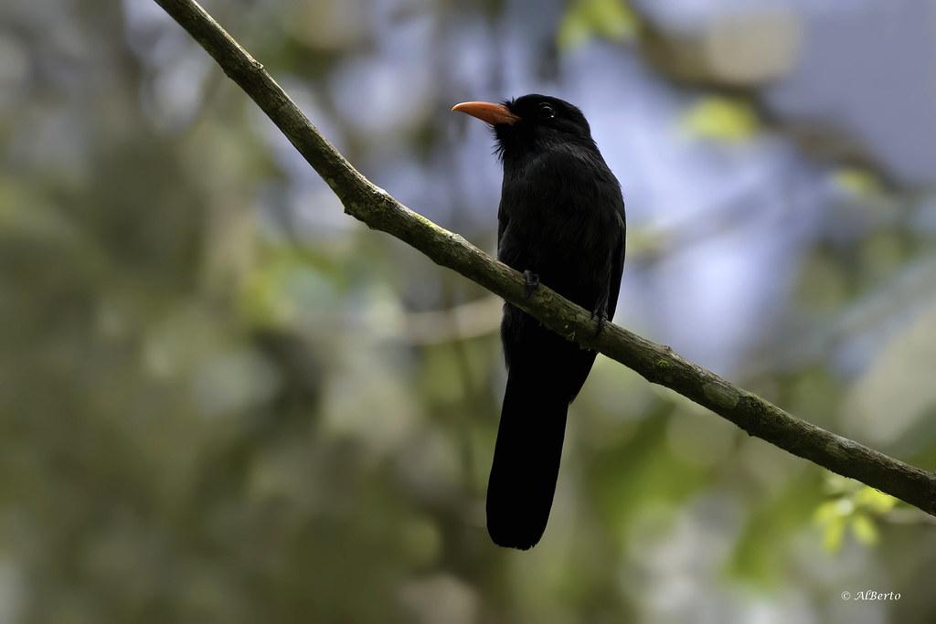 Black-fronted Nunbird / Barbacou unicolore