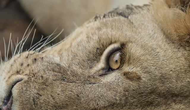 Selous lions