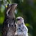 Common Potoo family