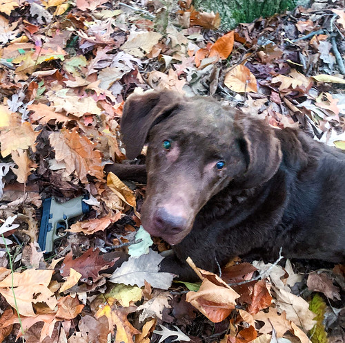 Photo of dog finding weapon in leaves