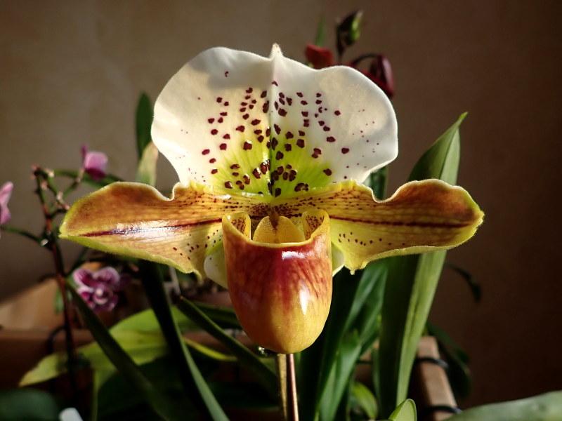 Les Orchidées chez Cloo en 2020 - Page 5 49489065963_64a4f90201_c