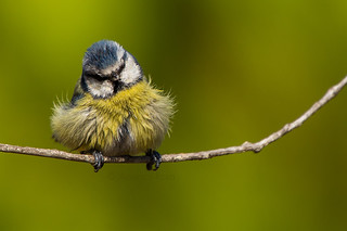 All puffed up... | by americo.rosa