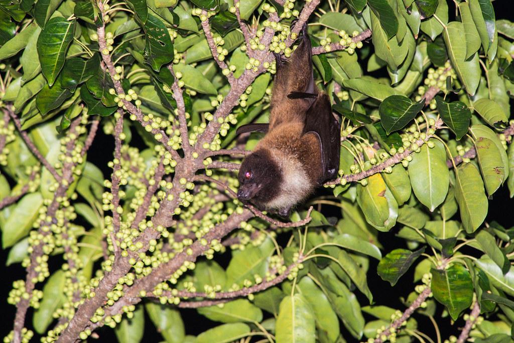 台灣狐蝠曾一度以為消失於本島,2018年重啟調查,就在花蓮市有穩定的族群。攝影:鄭錫奇