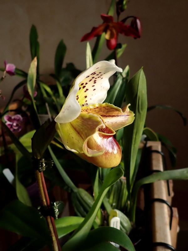 Les Orchidées chez Cloo en 2020 - Page 5 49489774672_9926eed1c7_c