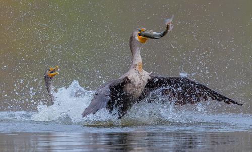Chasing for fish ... (X9B_2264-1)