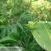 Katydid (Scudderia sp.) nymph 20180727_0567.jpg