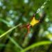 Arrowshaped Micrathena (Micrathena sagittata) 20180727_0555.jpg