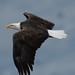 Klamath Bald Eagles