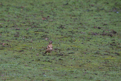Listening for worms, mistle thrushes