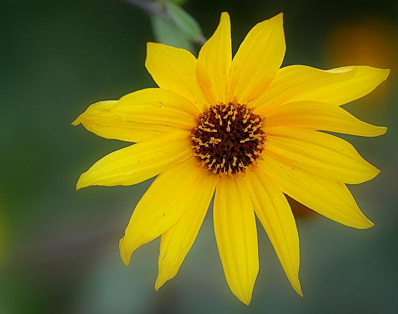 Fleurs jaunes 49490709358_6f5a15662c_c