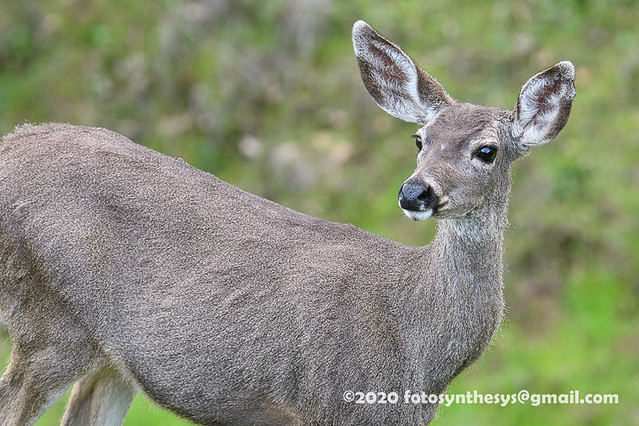 Columbian Black-tailed Deer (Odocoileus hemionus columbianus), adult DSD_0016