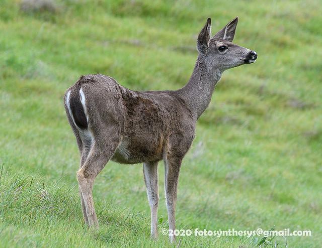 Columbian Black-tailed Deer (Odocoileus hemionus columbianus), adult DSD_0009