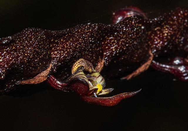 Bulbophyllum maximum