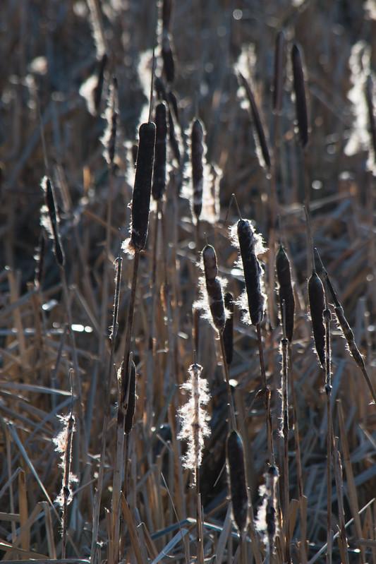 Backklit bullrushes, i54