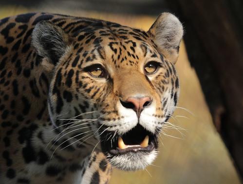 Jaguar Rica artis BB2A0854