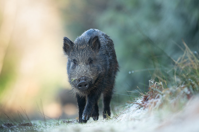 A welcome frosty start to the day, caught this young wild boar treading carefully on the frosty grass.