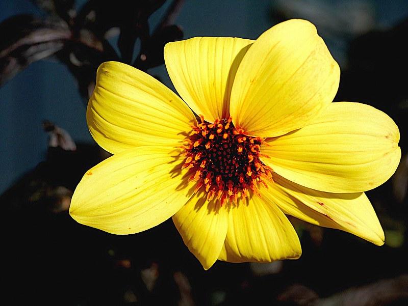 Fleurs jaunes 49491206721_d46e506764_c