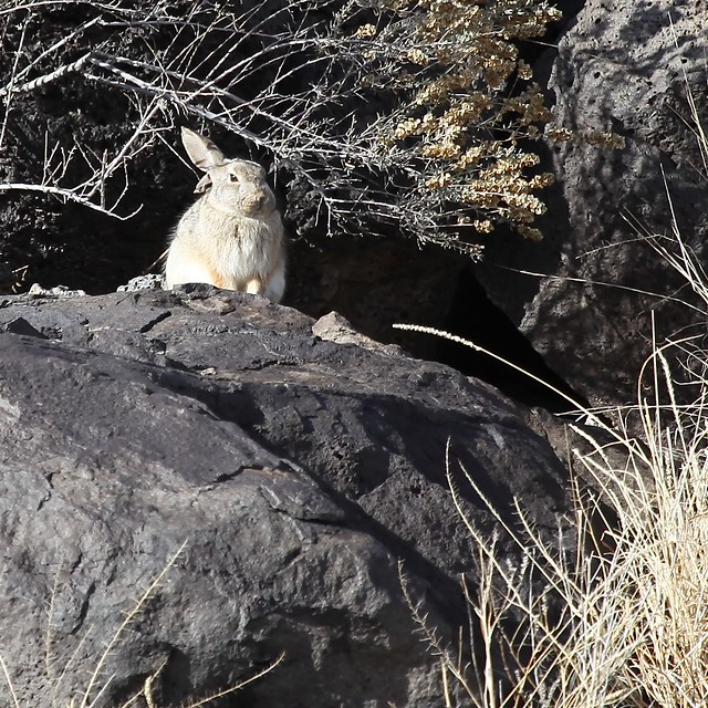 Desert Cottontail (Audubon's Cottontail)