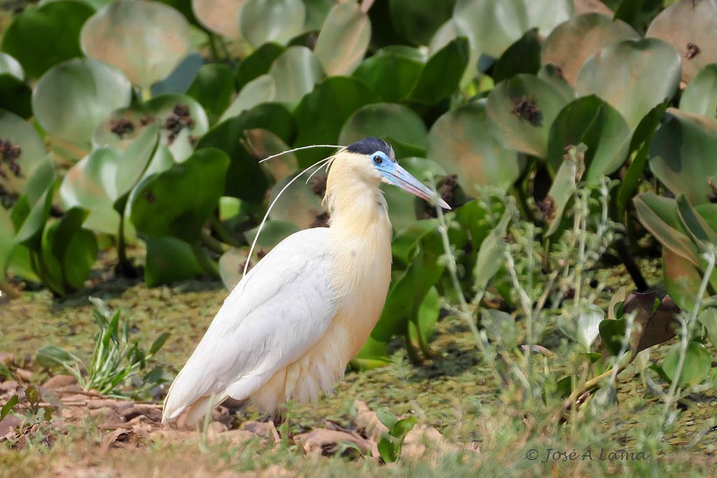 Pilherodius pileatus