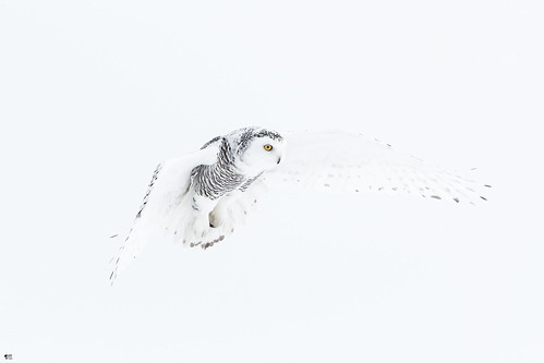 ''Suspension!'' harfang des neiges-Snowy owl