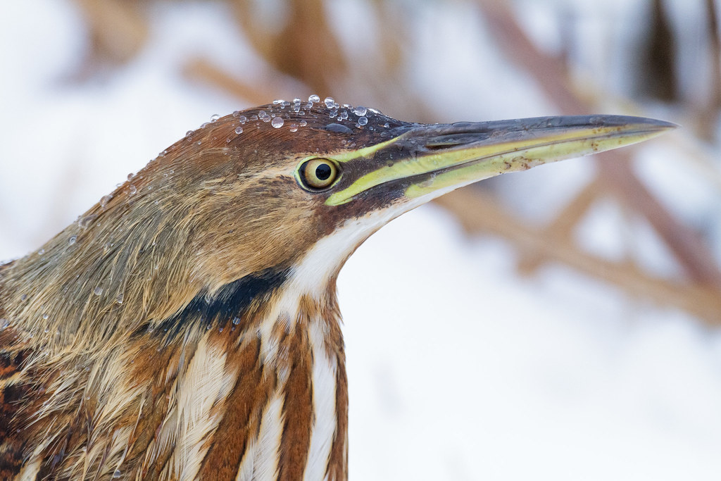 Large water droplets bead up on the head and neck and shoulders of an American bittern at South Quigley Lake on the auto tour of the River S Unit of Ridgefield National Wildlife Refuge in Ridgefield, Washington in December 2009