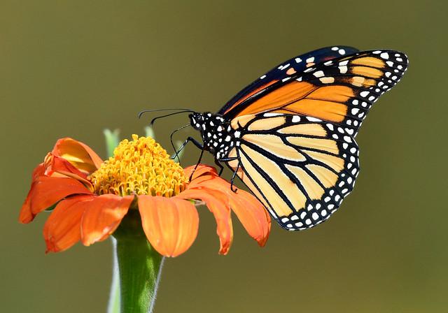 810_ 0118.  Monarch Butterfly