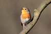 A Robin enjoying the February sun in Eastville Park