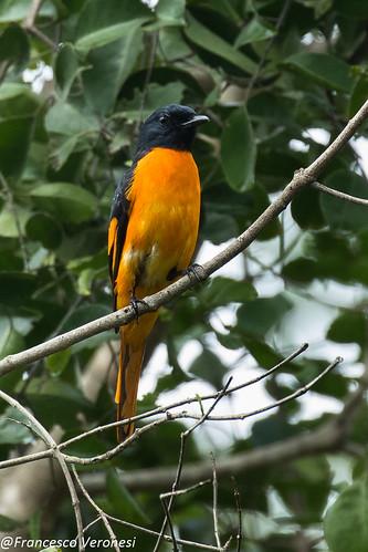 124cuckooshrikes birds kerala india asia orangeminivet