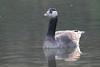 Hybrid or aberrant Canada Goose on Eastville Park Lake