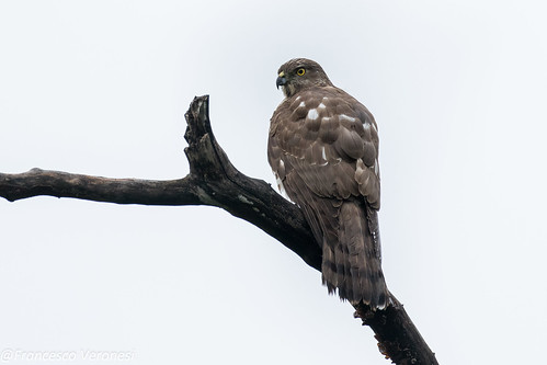 29hawkseagleskites birds kerala india asia besra