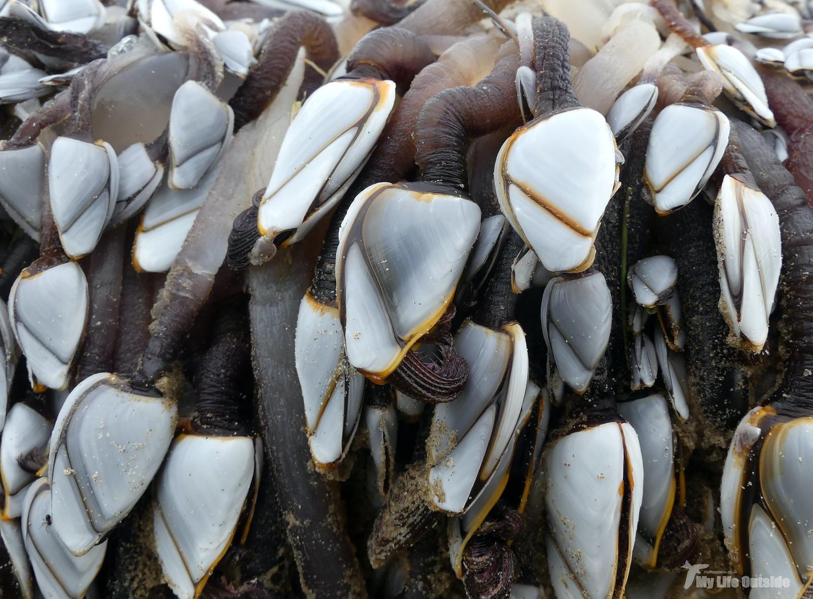 P1230253 - Goose Barnacles