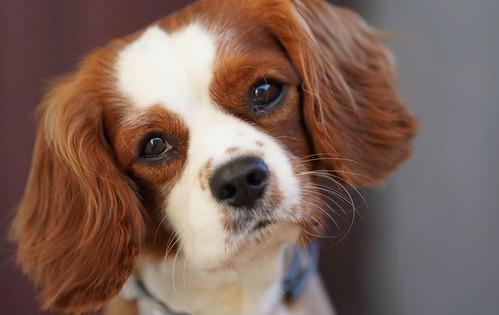 Beau dog