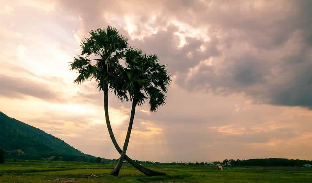 des-palmiers-dattiers-ont-poussés-à-partir-de-graines-vieilles-de-2000-ans