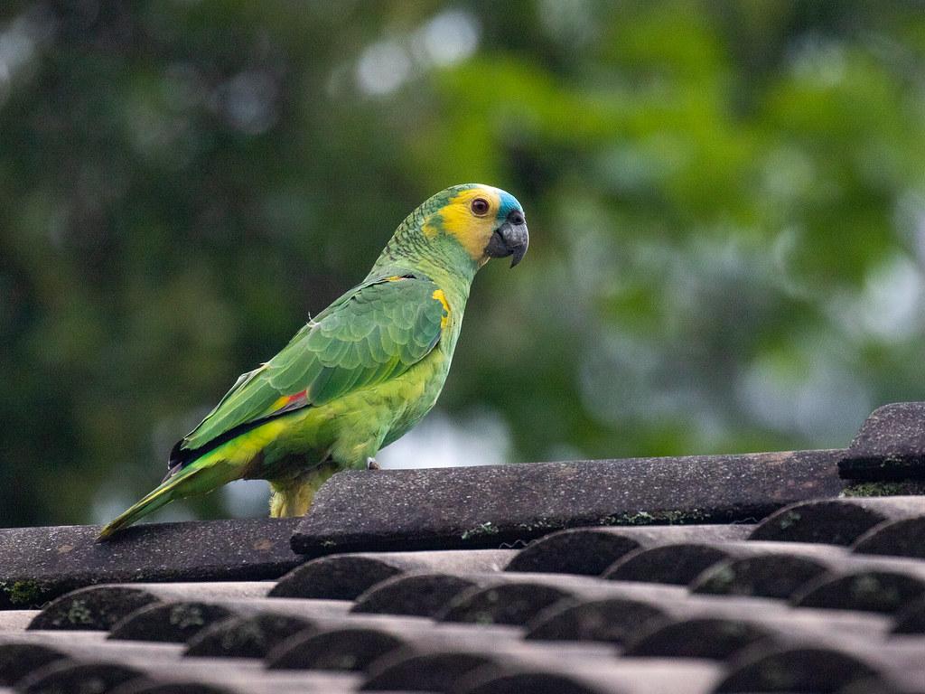 Blue-fronted parrot/Papagaio-verdadeiro/Loro hablador  (Amazona aestiva)