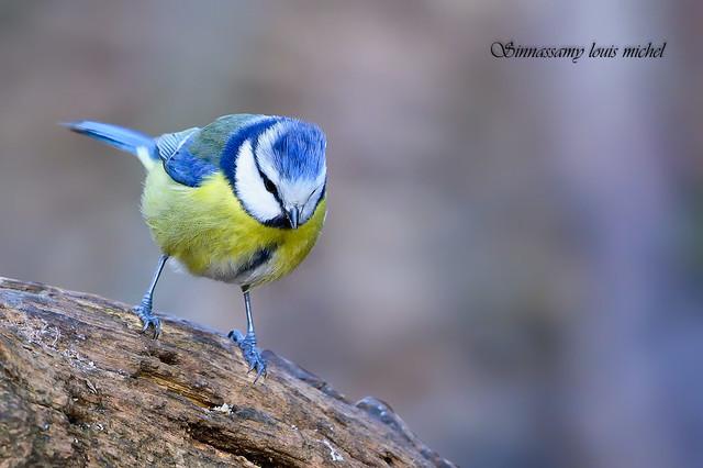 Blue tit / Mésange bleue