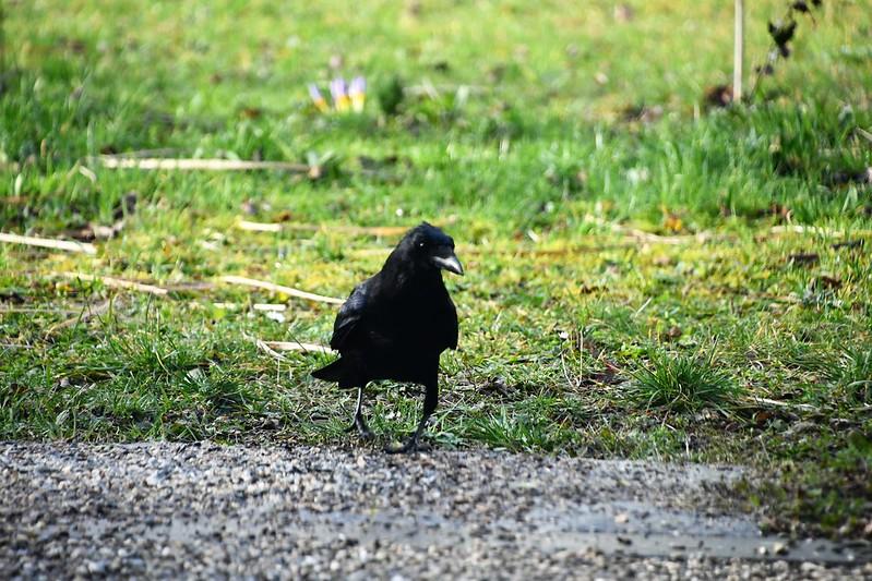 Crow 05.02 (2)