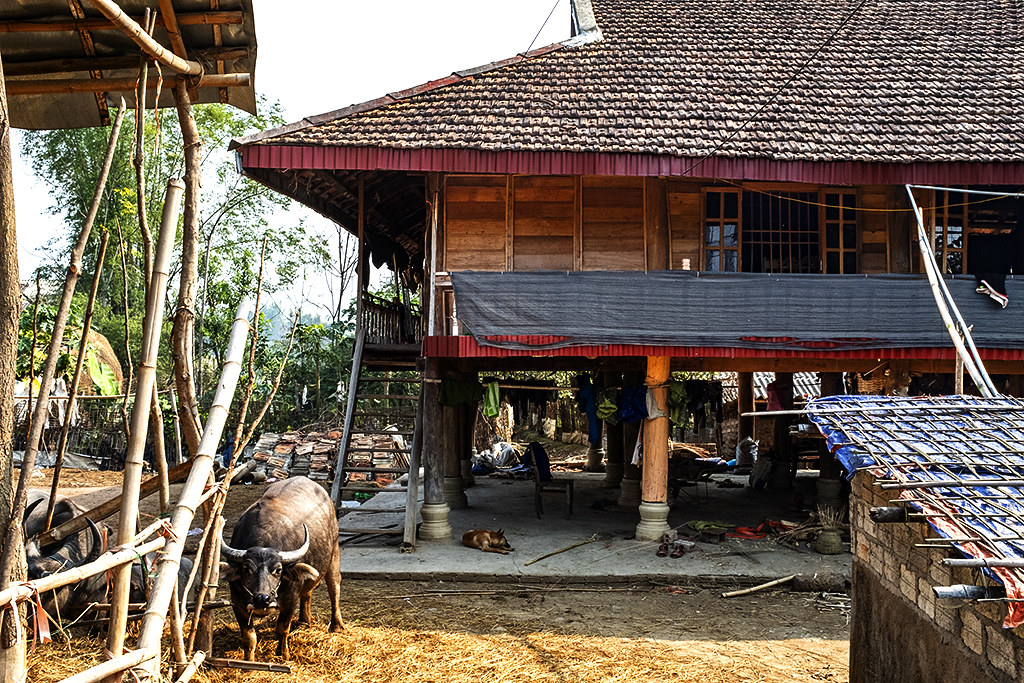 House with buffaloes and a dog--Ban Banh