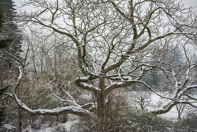 Hybrid Japanese Walnut Tree, Darts Hill Winter