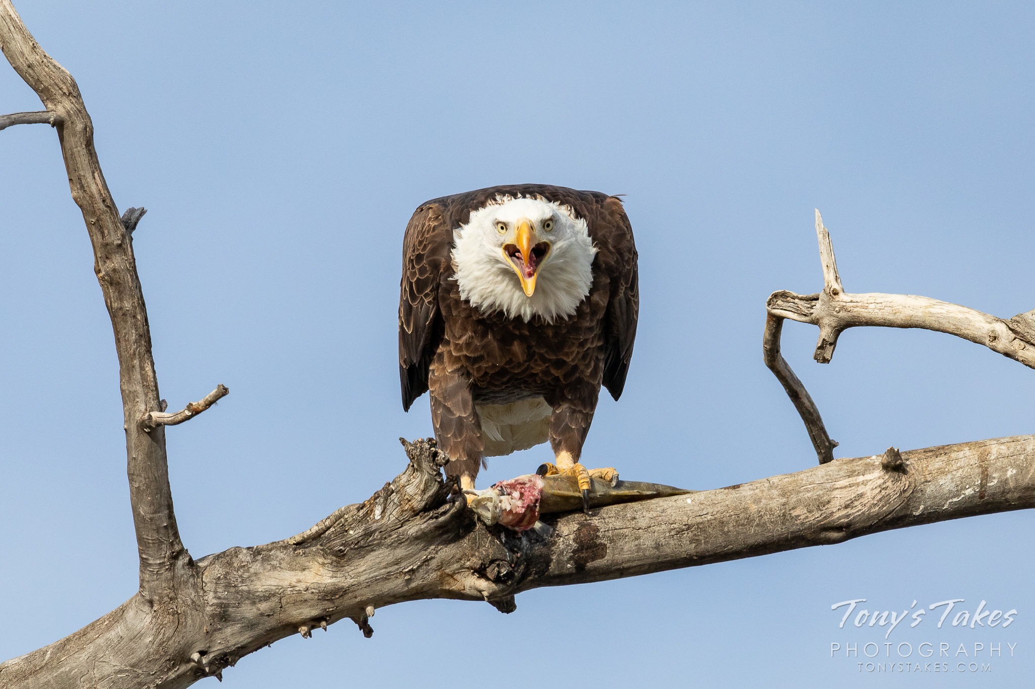 A bald eagle devours a fish in Boulder County, Colorado. (© Tony's Takes)