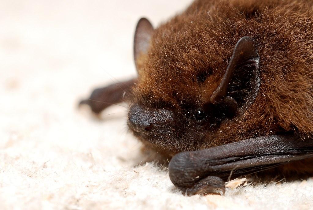 蝙蝠。Gilles San Martin(CC BY-SA 2.0)