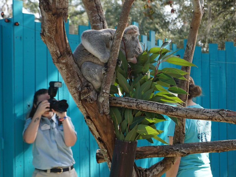 This is Heathcliff at the Koala Photo Encounter at ZooTampa at Lowry Park, Tampa, Fla., Jan. 2020.